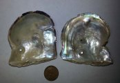 Two blister pearls on oyster shells, Akoya?